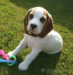 Adorable 12 week old Beagle puppy with her teething toy <3