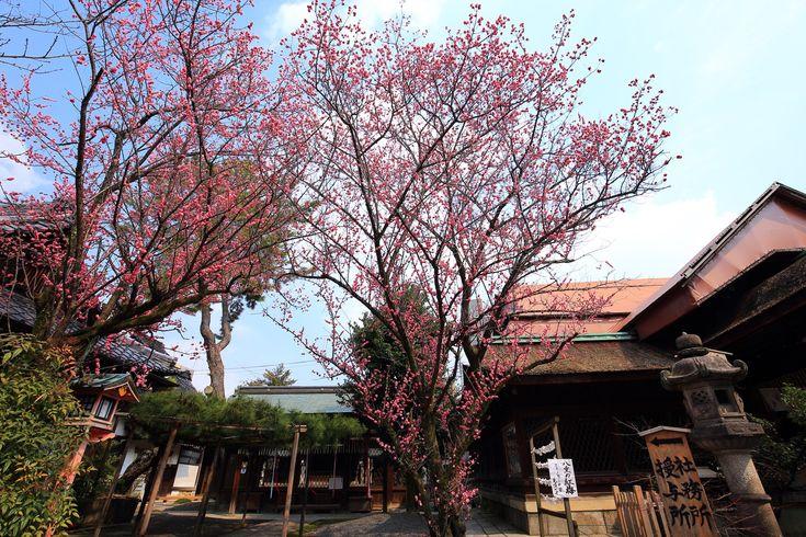 梅の隠れた名所の下御霊神社