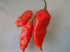 Naga morich chilli pepper seeds x30+ seeds guranteed 100% pure