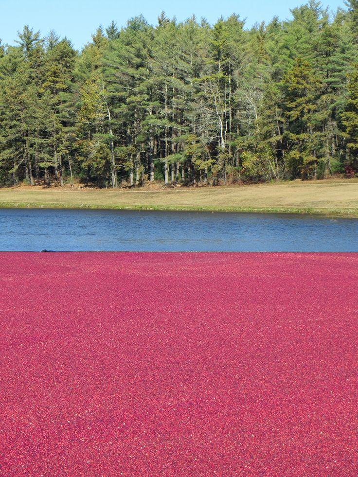 A beautiful cranberry bog!