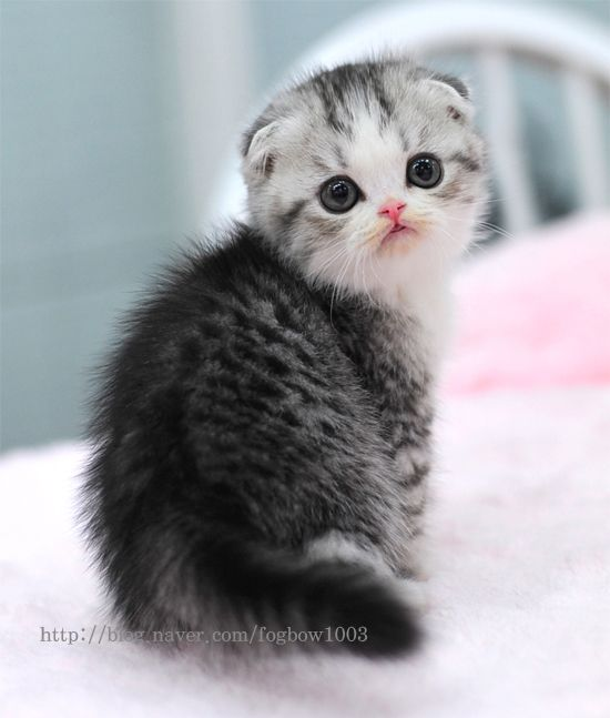 Scottish Fold Kitten...such a sweet expression.