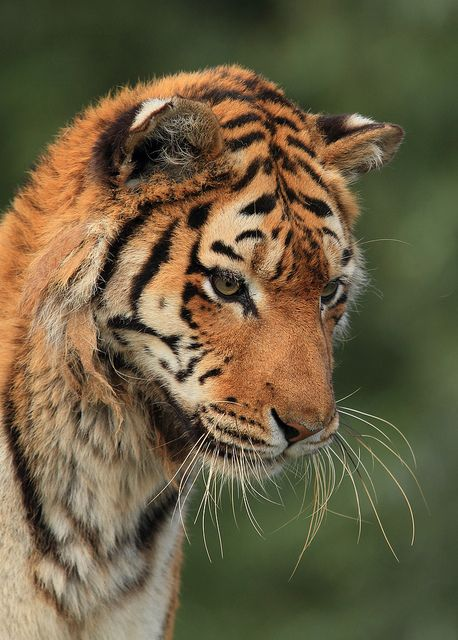 Nina by Mark Butcher on Flickr. South Lakes Wild Animal Park's Siberian/Amur Tigress.