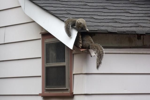 How To Get Squirrels Out Of The Attic Squirrel How To