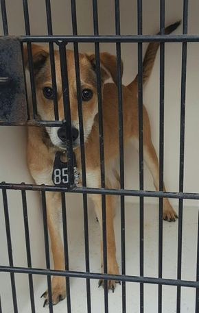 ** diesFRI. 03/31/17 6PM~~SEE VIDEO!!~~ this animal needs an adoption hold by 5:30pm OR a rescue group to claim by 5:50pm FRI.,3/31/17. HOUSTON-EXTREMELY URGENT -This DOG - ID#a478977 I am a male, tan and white Labrador Retriever mix. I am about 4 months old. Harris County Public Health and Environmental Services. https://www.facebook.com/harriscountyanimalshelterpets/videos/1453578998039227/
