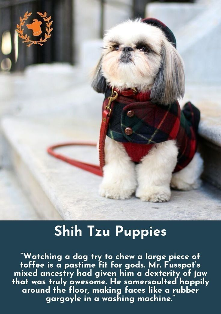 Read More About Shih Tzu Shihtzu Check The Webpage For More