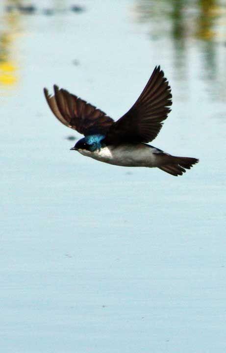 #Rondine Arboricola Bicolore (Tachycineta bicolor) in volo #uccelli
