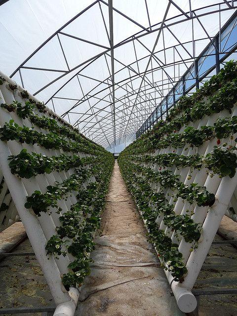 hydroponic farm - strawberries by cafegrumpy, via Flickr