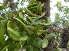 http://www.plantistanbul.com/Plantistanbul-Keci-Boynuzu-Fidani-Tuplu,PR-339.html