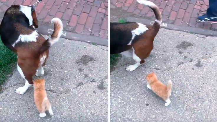 Un tenero gattino orfano color zenzero ha incontrato sulla sua strada un bel cagnolone e lo ha seguito fino a casa.