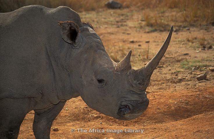 White rhinoceros (Ceratotherium simum), Cecil Kop Nature Reserve, Mutare, Eastern Highlands, Zimbabwe
