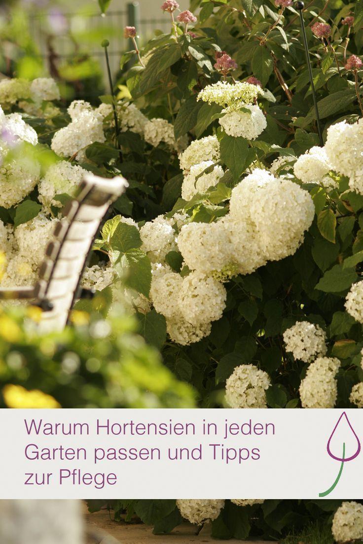 Pflege Von Hortensien Im Garten Oder Auf Dem Balkon Im Topf Und Wie Sie Am Besten Sind Garten Pflanzen Hortensien Garten Garten