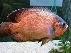 Best Oscar Fish Food