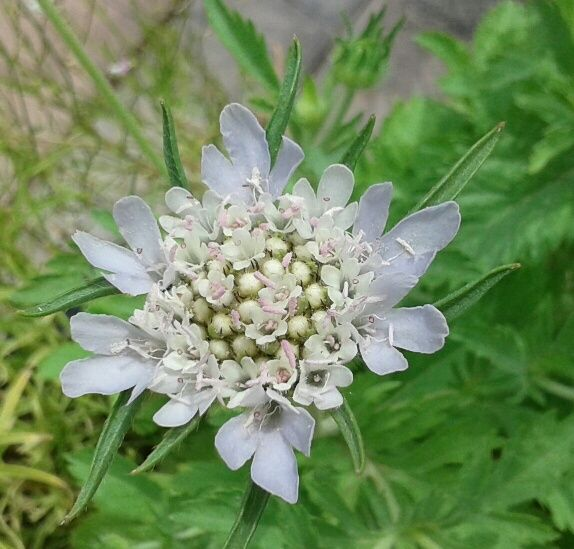 paper moon scabiosa from my Garden