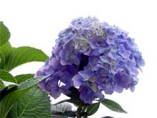 How to prune Hydrangea Bushes - don't want mine to look like a redneck lives there.