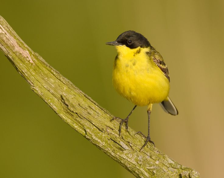 Yellow Wagtail () Taken in Bulgaria.    www.wildphototoursbg.com