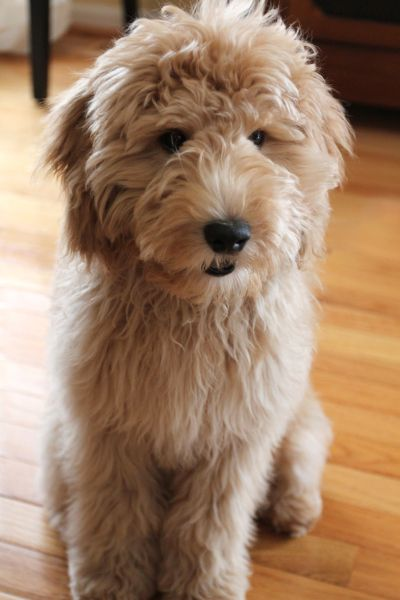 Noodle Bean -- Australian Labradoodle -- if he or she comes in a chestnut..lol....I'm all in.