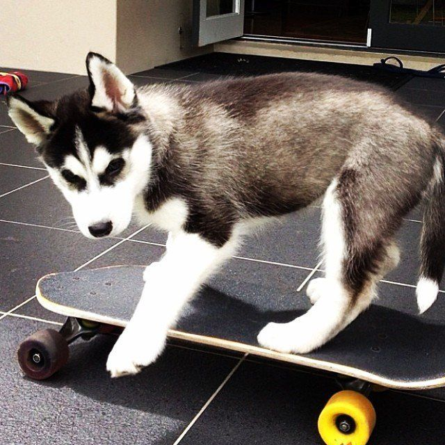 11 Things Only Husky Pup Parents Understand