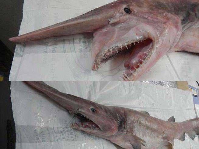 Un Tiburón Prehistórico Fue Capturado Frente A Las Costas Australianas