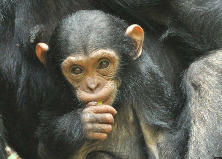 Scary Gorilla | ... Chimpanzee Attack , Scary Gorilla ...