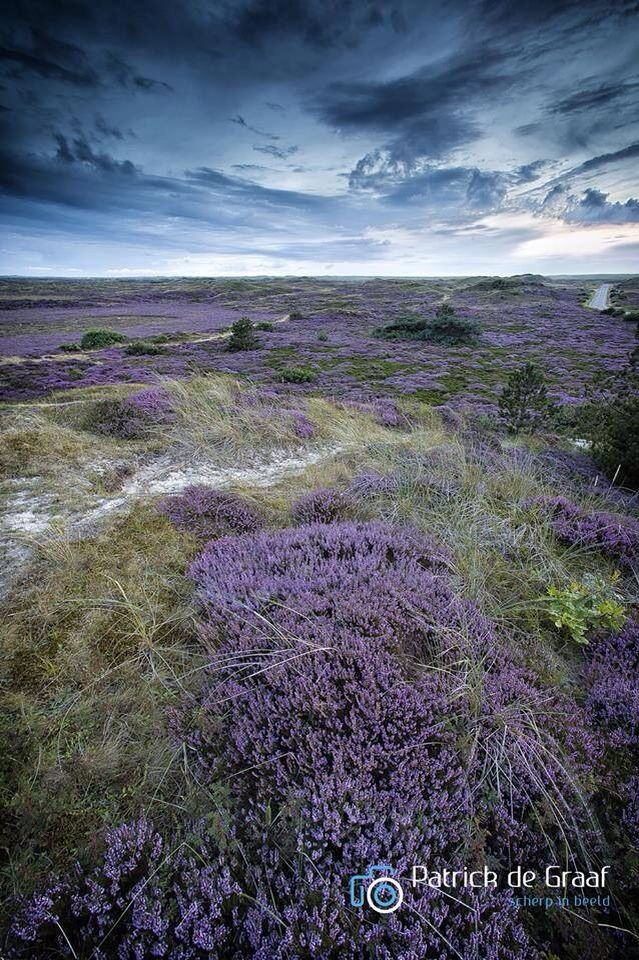 The Netherlands: In August, the Slufter colored purple by sea lavender.