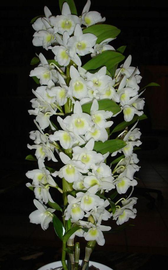орхидея с мелкими цветами название заявляют что также