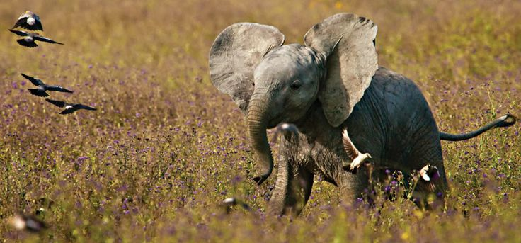 omg in love.: Photos, Babies, African Baby, Baby Elephants, Adorable Animals, Beautiful, Things, African Elephants, Baby Animals