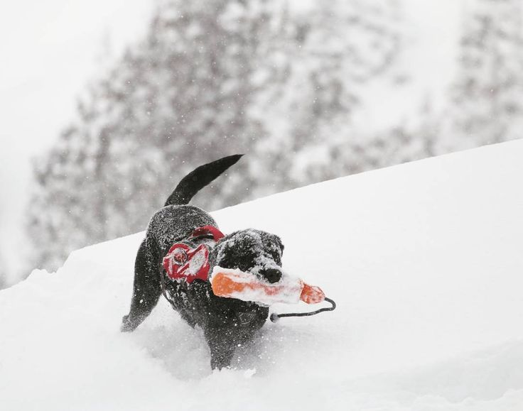 You might call yourself a powder hound but this guy might beg to differ..... Or just beg you to throw his toy one more t...