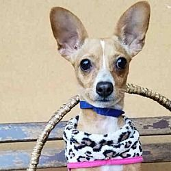 Los Angeles, California - Chihuahua. Meet JAZZY, a for adoption. https://www.adoptapet.com/pet/19949910-los-angeles-california-chihuahua-mix