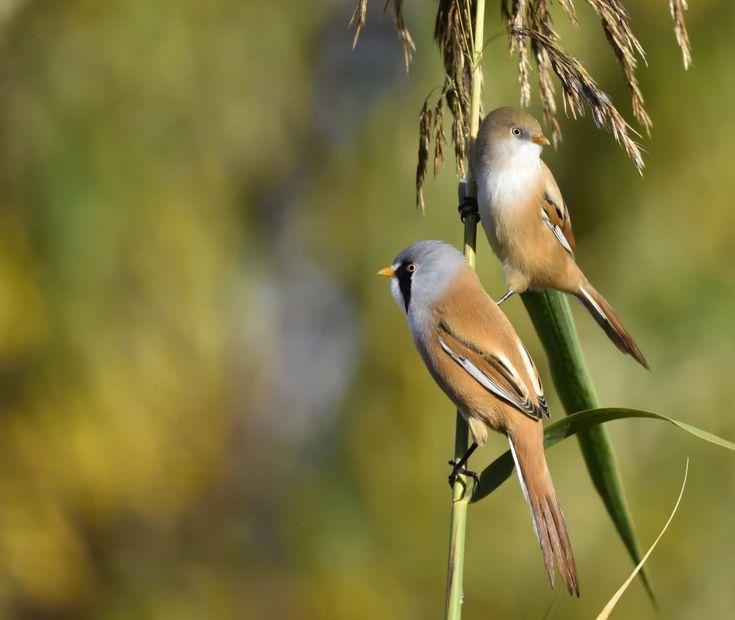 baardmantjes - Vogels (ijsvogel, koolmees, vink) - baardman