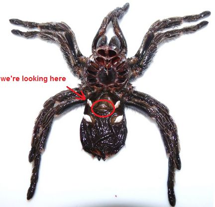 , how to sex your pet tarantula! the most accurate...