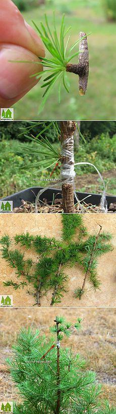 Размножение лиственницы   Дачная жизнь - сад, огород, дача