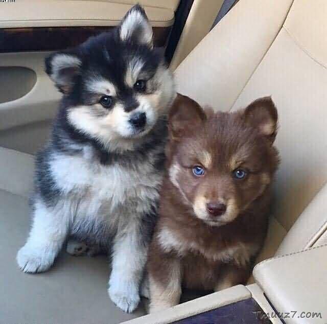 صور كلاب الهاسكى واسعارها Cute Animals Cute Dogs Pomsky Puppies