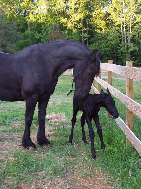 FRIESIAN MARE WITH NEWBORN FOAL #FriesianHorses