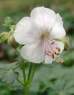 Geranium x cantabrigiense 'Biokovo'  Biokovo Cambridge geranium, spreading groundcover for dry sun or part sun. Grows six to eight inches, hardy zones 4 to 8. White flowers with pale pink veins and stamens in late spring and early summer, turns red to orange in fall.