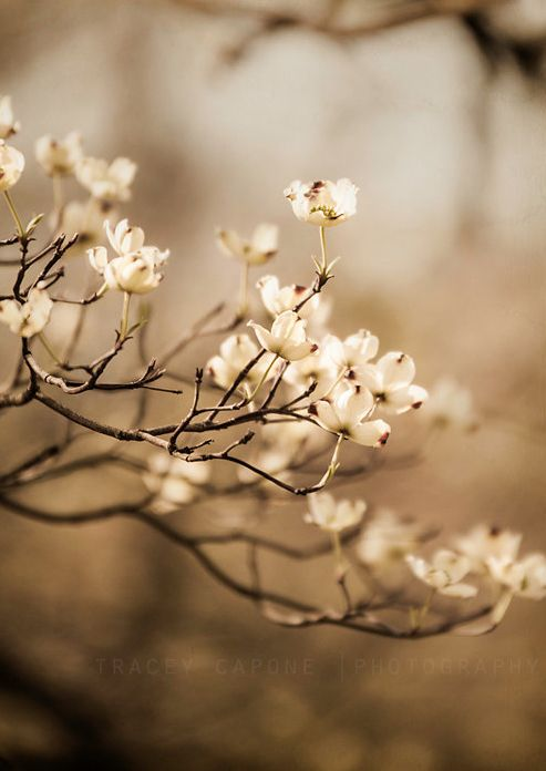 Dogwood by Tracey Capone