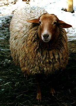 Breeds of Livestock - California Red Sheep — Breeds of Livestock, Department of Animal Science Sheds its wool each spring, good for meat and milk.  Need to check how much assistance it needs with lambing.  Could be perfect for us.