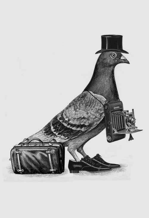 Rock doves or pigeons or flying rats or whatever you want to call them...I have been fascinated by them since my gramps told me about these amazing birds delivering messages during WW1 and 2, and about the Homers, Tumblers, racers, and Rollers!