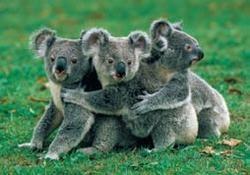 (Koala) bear hug!Koalas Phascolarcto, Australia, Koalas Bears, Animal