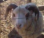 Un mouton enroué - http://www.entretemps.net/un-mouton-enroue/