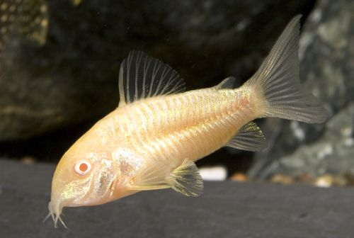 Albino Catfish - one of my all time favorites, always working, cute to ...