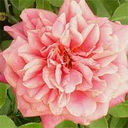 The Antique Rose Emporium by P. Allen Smith http://www.pallensmith.com/articles/the-antique-rose-emporium
