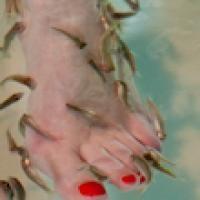 """Deze visjes, ook wel """"knabbelvisjes"""" genoemd, komen van oorsprong uit de warmwaterbronnen van Turkije. Zij hebben een heilzame werking dankzij het enzym dat zij tijdens het knabbel-proces afscheiden. Ze verwijderen alle dode huidcellen en stimuleren uw bloedsomloop. Voor de behandeling worden uw handen en voeten eerst gereinigd. Hierna bent u klaar voor de heerlijke vis spa behandeling.  http://www.eenkadovoorvrouwen.nl/138/5178/unieke-fish-spa-behandeling"""