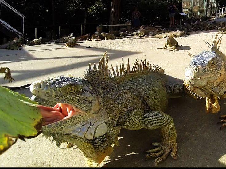 Arch's Iguana Farm, Roatan