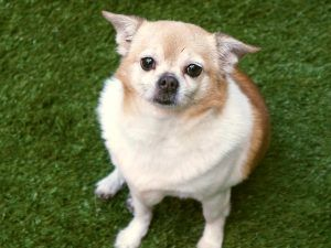 SAFE 04/11/17My name is LUCKY. My Animal ID # is A1108050. I am a neutered male brown and white chihuahua sh mix. The shelter thinks I am about 5 YEARS old.  I came in the shelter as a STRAY on 04/05/2017 from NY 10456, owner surrender reason stated was OWNER DIED. I came in with Group/Litter #K17-093179.