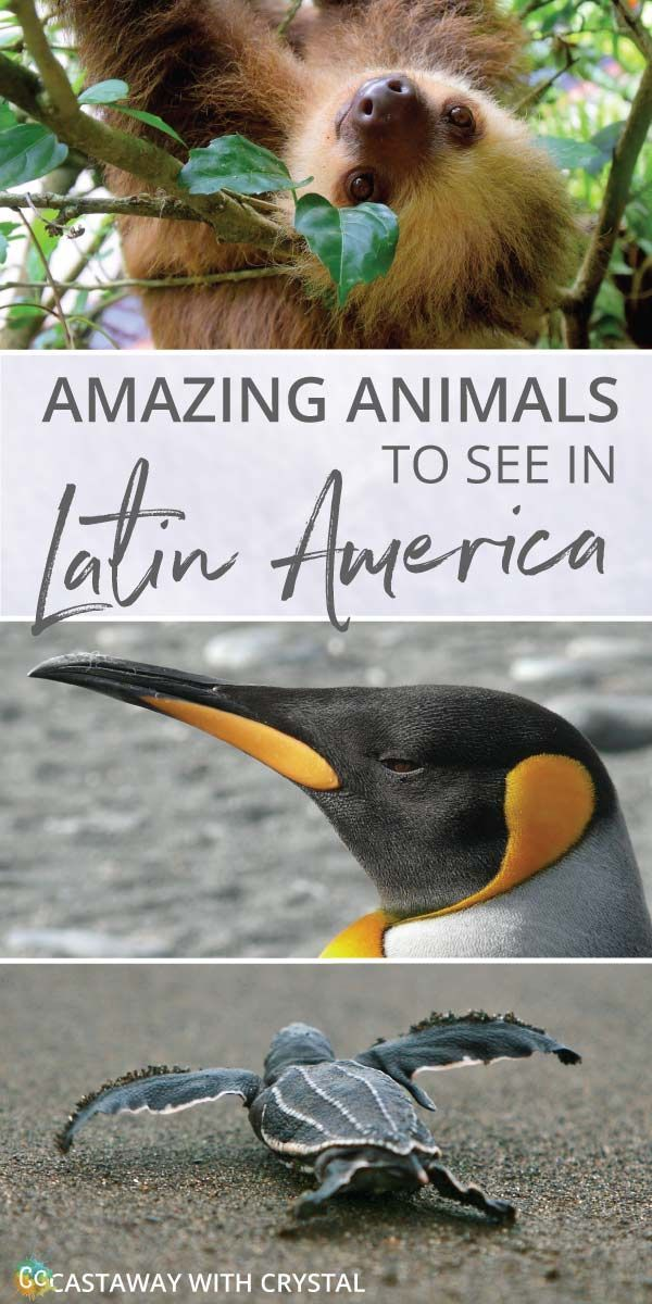 What animals can you see in Latin America? | Amazing Wildlife of South America | How to see sloths in Central America | How to see Pink Dolphins in the Amazon | Where to see Penguins in Patagonia | #Animals #Sloth #Penguin #Turtles #Latin #South #Central #America #Caribbean  via @CastawayCrystal