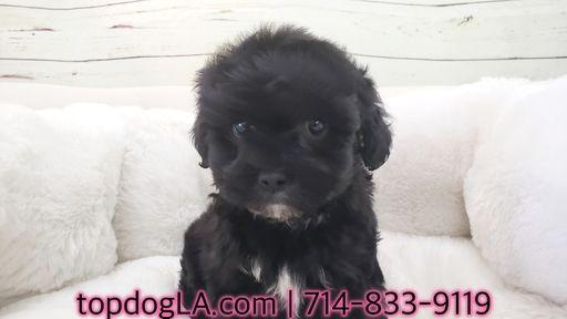 Poodle Standard Shih Tzu Mix Puppy For Sale In La Mirada Ca