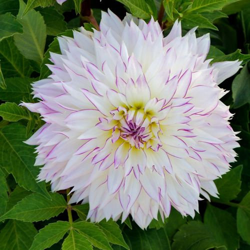 5200 best images about colors of dahlias on pinterest for Fleurs vivaces
