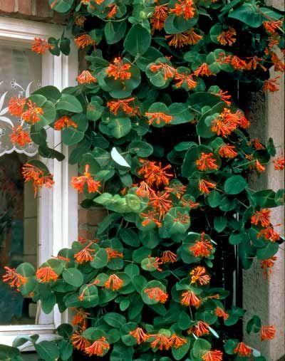dropmore scarlet honeysuckle vine - maybe back alley wall?