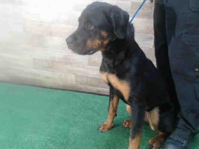 Www Petharbor Com Pet Ocfl A403875 Pets Animals Rottweiler