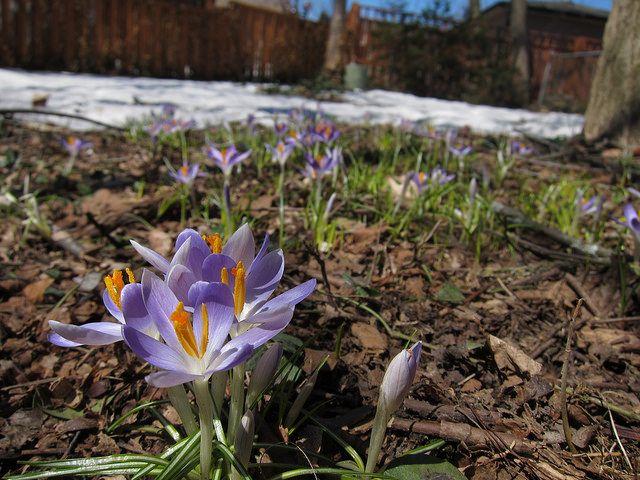 Crocuses in springtime (2014) by flying squirrel, via Flickr